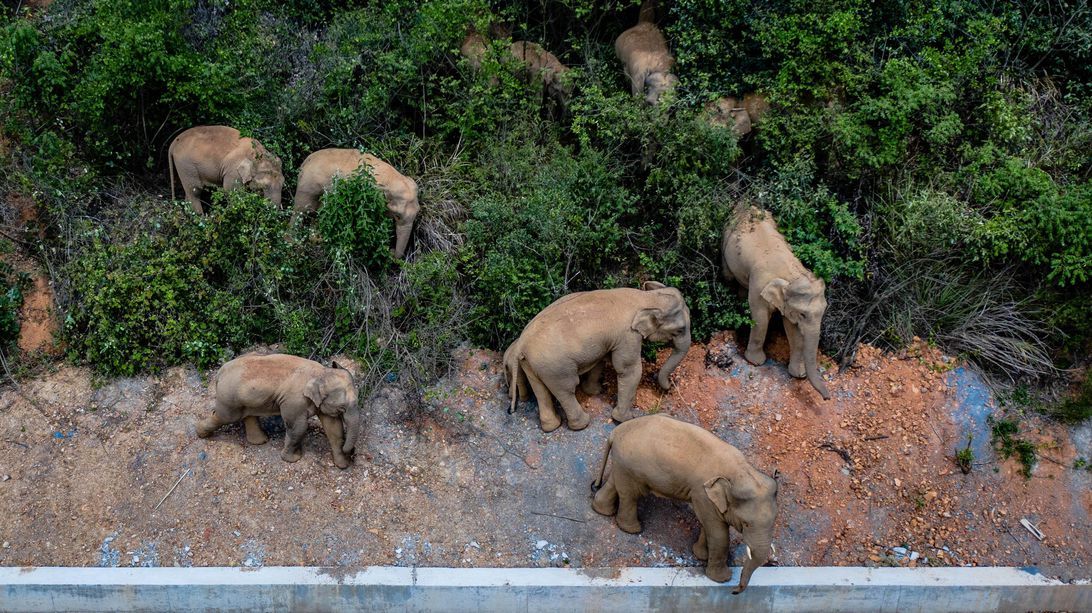 wandering elephants in china